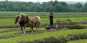 An Amish farmer raking hay.