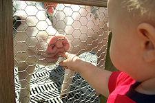 Cherry-Crest Farm - feeding pig