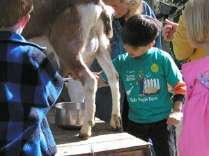 Milking a goat