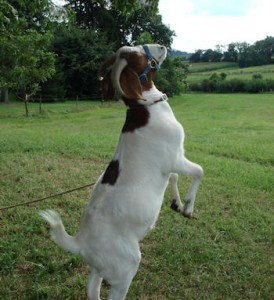 Dancer the goat