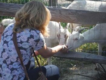 Corn Cob Acres Goat Feeding