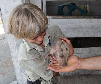 Old Windmill Farm - feeding pigs