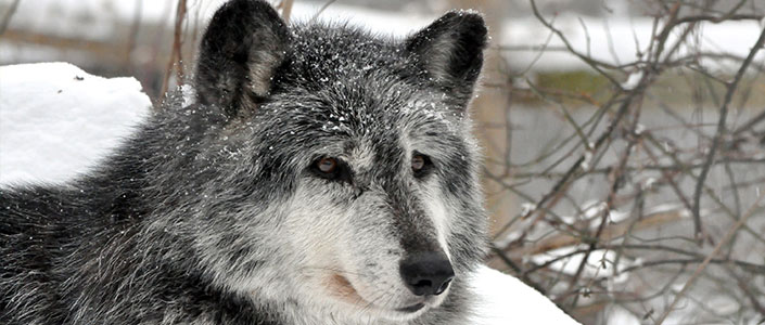Visit the Wolf Sanctuary in Lancaster County