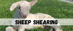 amish-farm-house-sheep-shearing