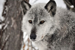 speedwell-forge-wolf