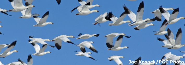Watching snow geese migrate in Lancaster County, PA