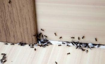 fox-pest-control-ants