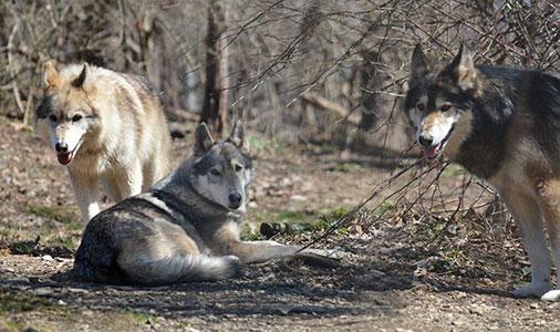 Wolf Sanctuary - Lancaster, PA